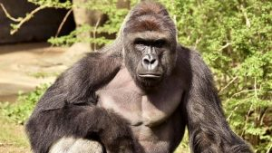 'Harambe' jersey sales OK'd again after brief ban
